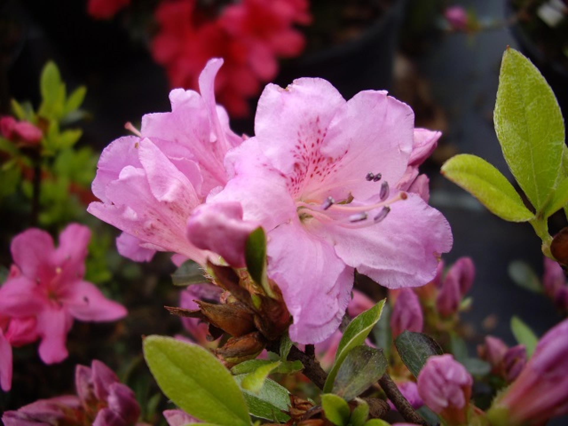 rhododendron obtusum 39 multiflorum lila 39. Black Bedroom Furniture Sets. Home Design Ideas