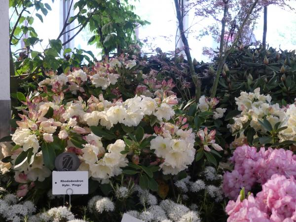 <strong>Rhododendron Hybr. 'Pingo'</strong>