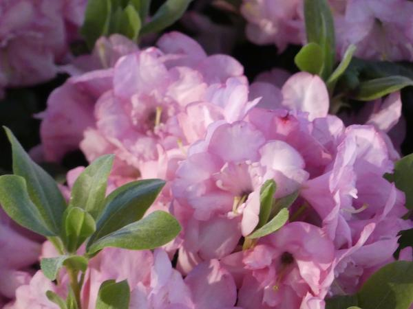 <strong>Rhododendron Hybr. 'Bardia'</strong>
