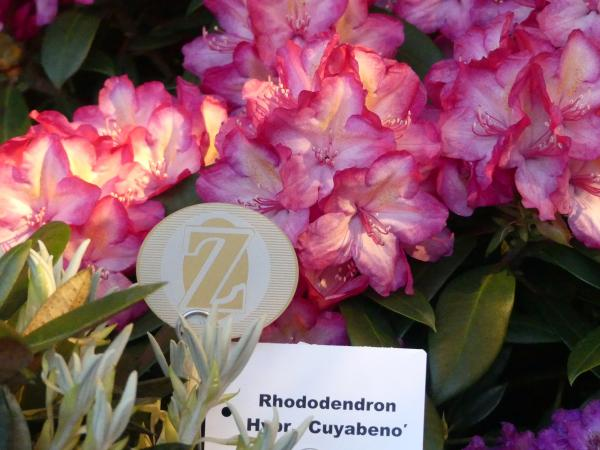 <strong>Rhododendron Hybr. 'Cuyabeno'</strong>