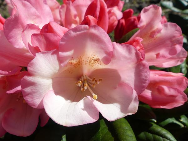 <strong>Rhododendron yak. 'Kaza'</strong>