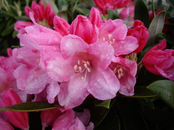 <strong>Rhododendron yak. 'Taroko'</strong>